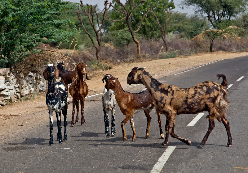 large_Goats_in_Road_2.jpg