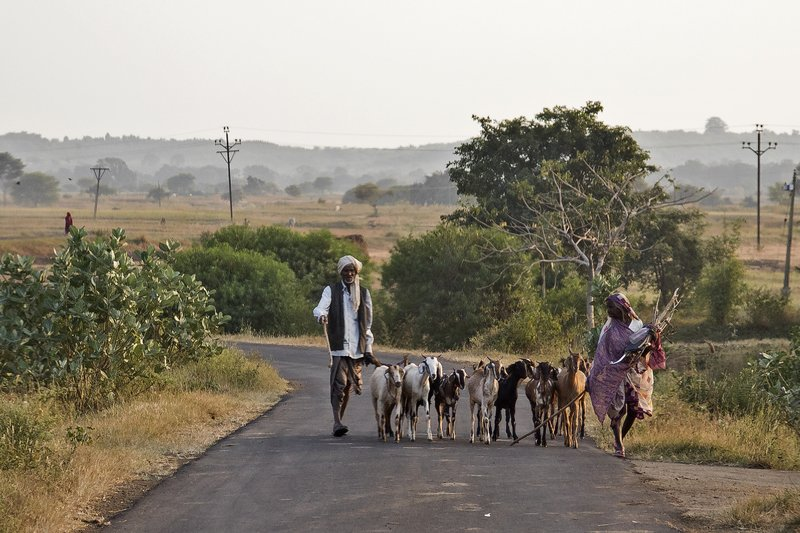 large_Goats_in_the_Road_1.jpg