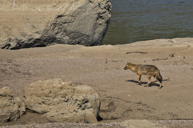 large_Golden_Jackal_53.jpg