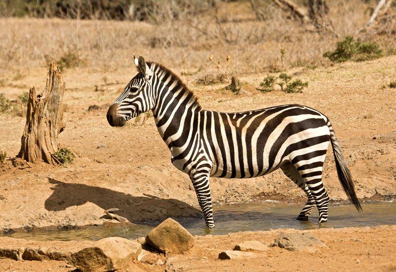 large_Gr_vy_s_Zebra_211.jpg