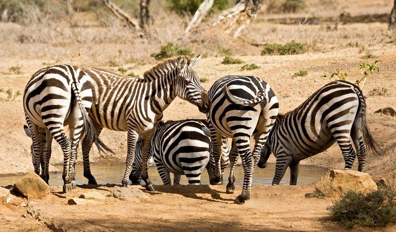 large_Gr_vy_s_Zebra_220.jpg