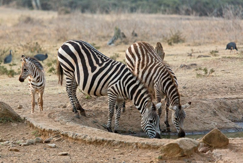 large_Gr_vy_s_Zebra_313.jpg