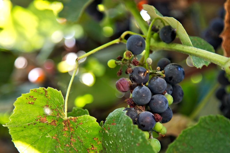 large_Grapes_1.jpg