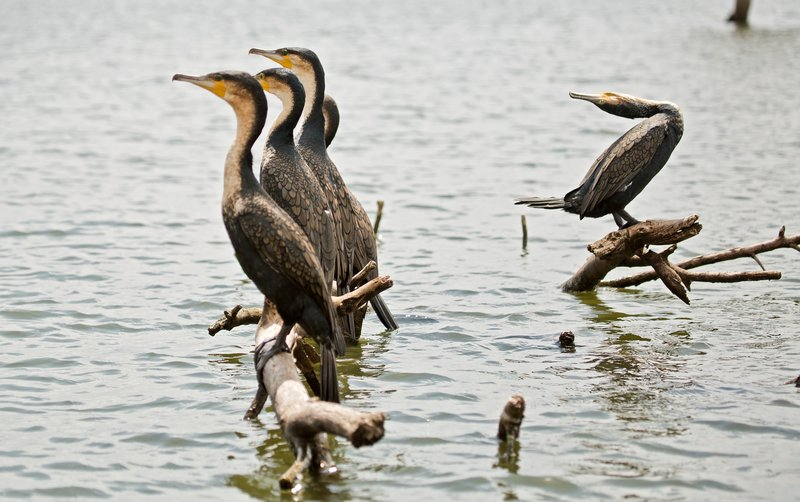 large_Great_Cormorant_28.jpg
