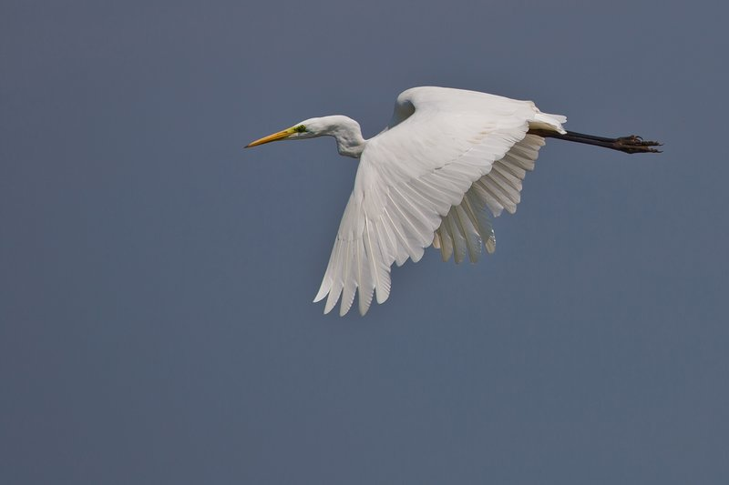 large_Great_Egret_4.jpg