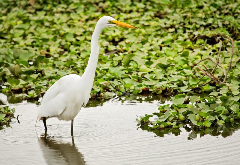 large_Great_White_Egret_3.jpg