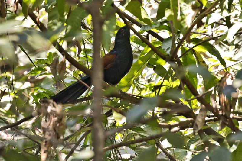 large_Greater_Coucal_1.jpg