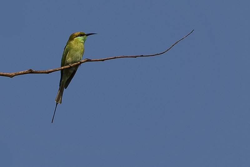 large_Gree_Bee_Eater_31.jpg