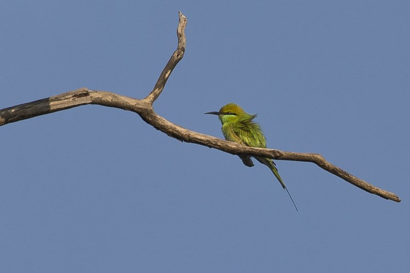 large_Green_Bee_Eater_91.jpg