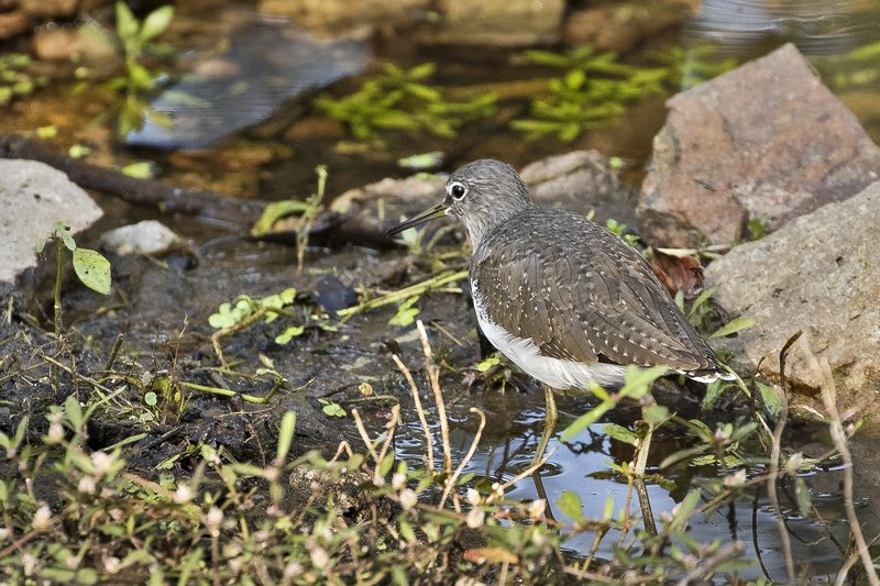 large_Green_Sandpiper_1.jpg