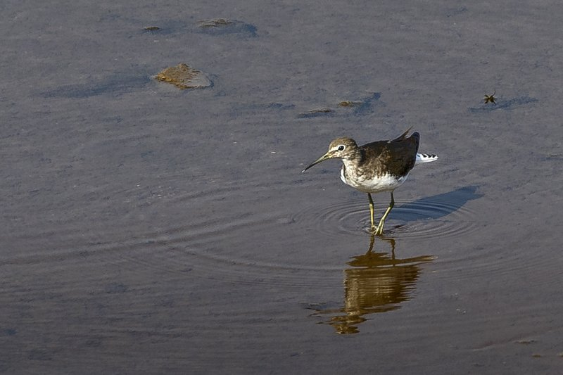large_Green_Sandpiper_52.jpg