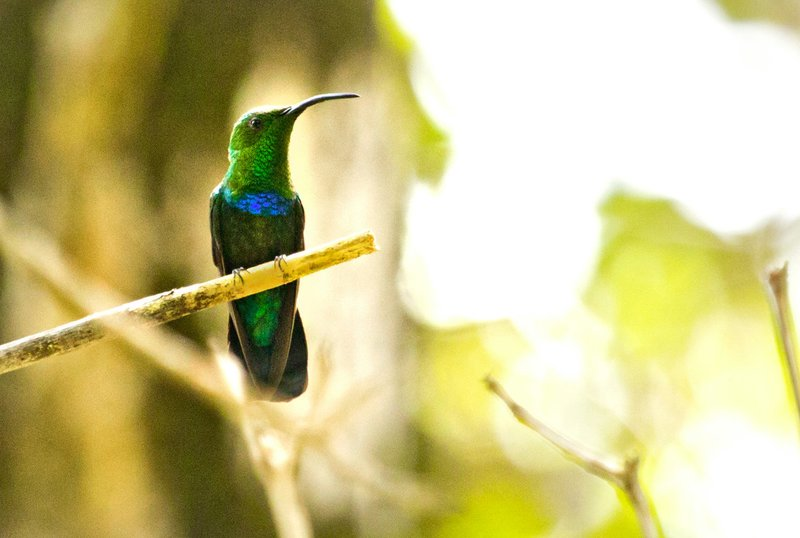large_Green_Throated_Carib_25.jpg