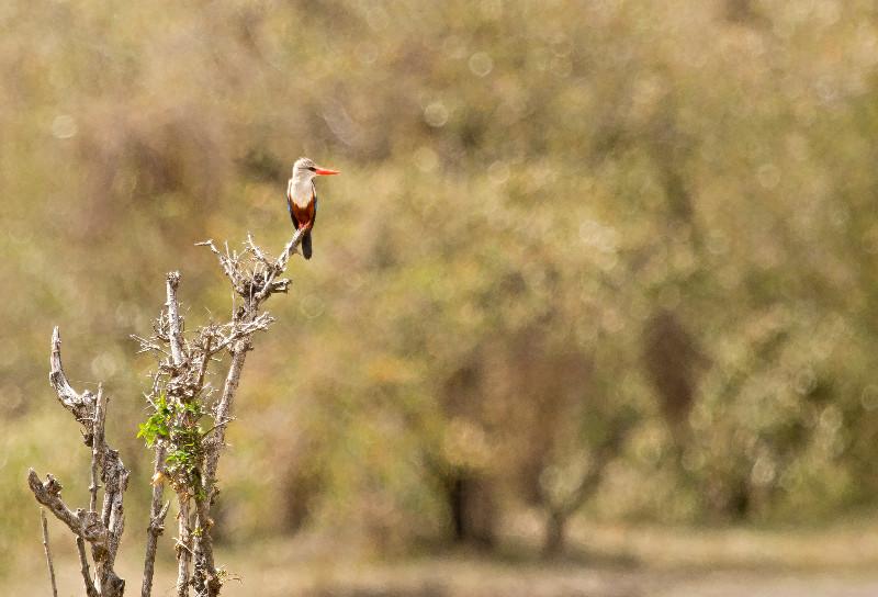 large_Grey_Headed_Kingfisher_71.jpg