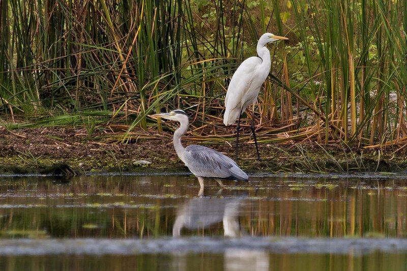 large_Grey_Heron..eat_Egret_2.jpg