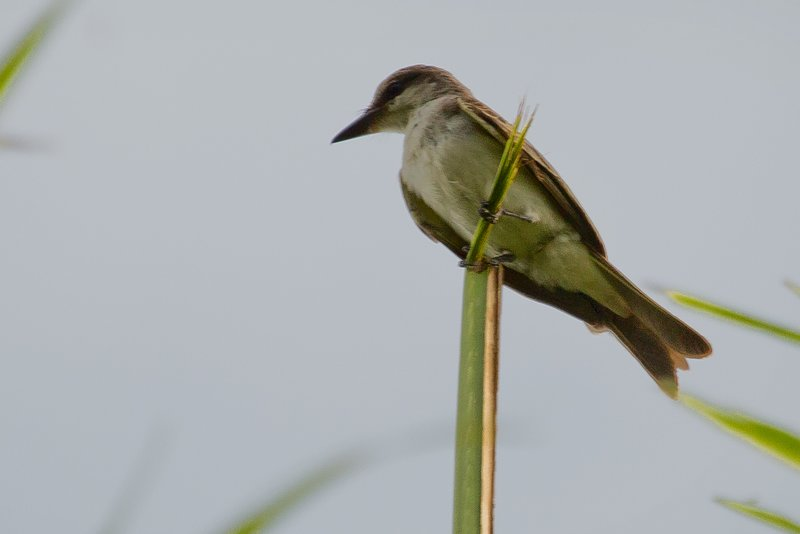 large_Grey_Kingbird_1.jpg