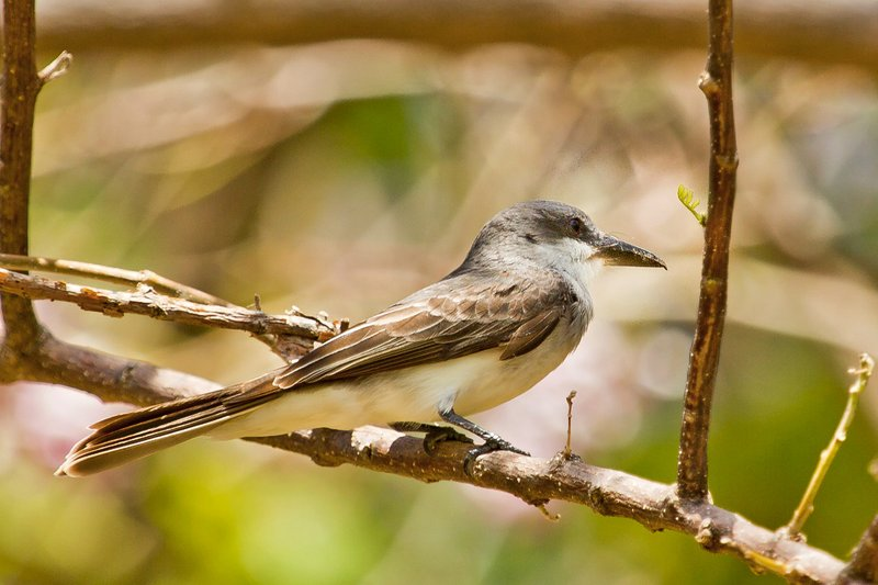 large_Grey_Kingbird_2.jpg