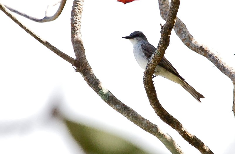 large_Grey_Kingbird_51.jpg