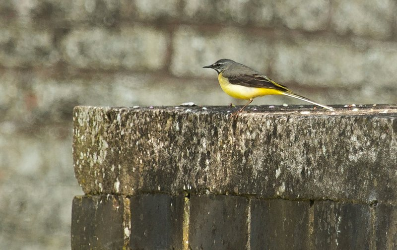 large_Grey_Wagtail_1.jpg
