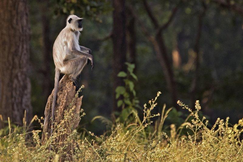 large_Hanuman_Langur_24.jpg