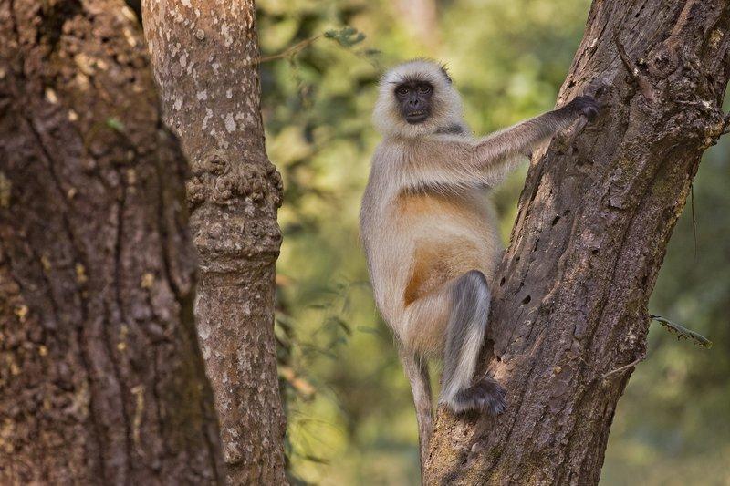 large_Hanuman_Langur_32.jpg
