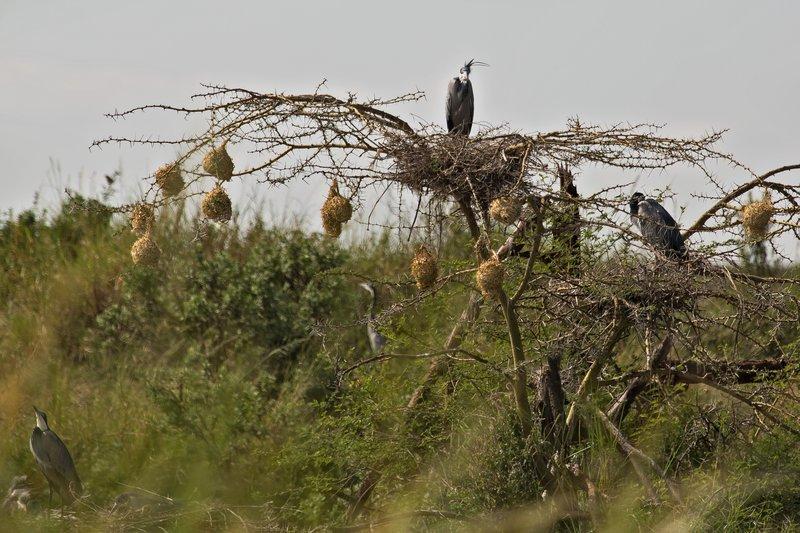 large_Heron__Black_Headed_11-1.jpg