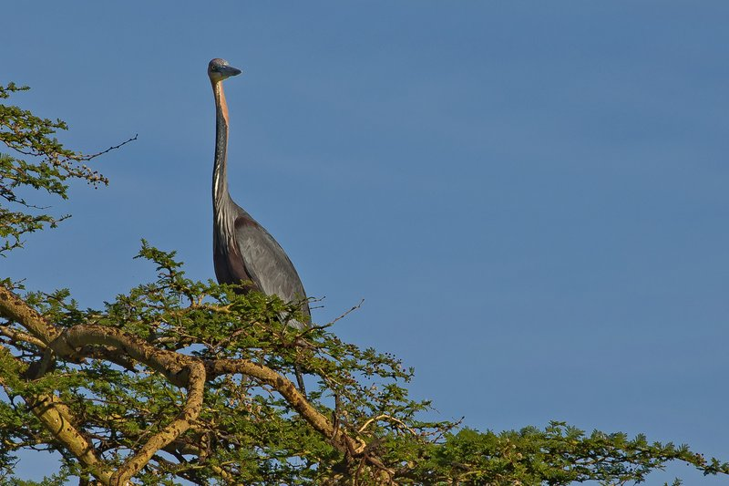 large_Heron__Goliath_1.jpg