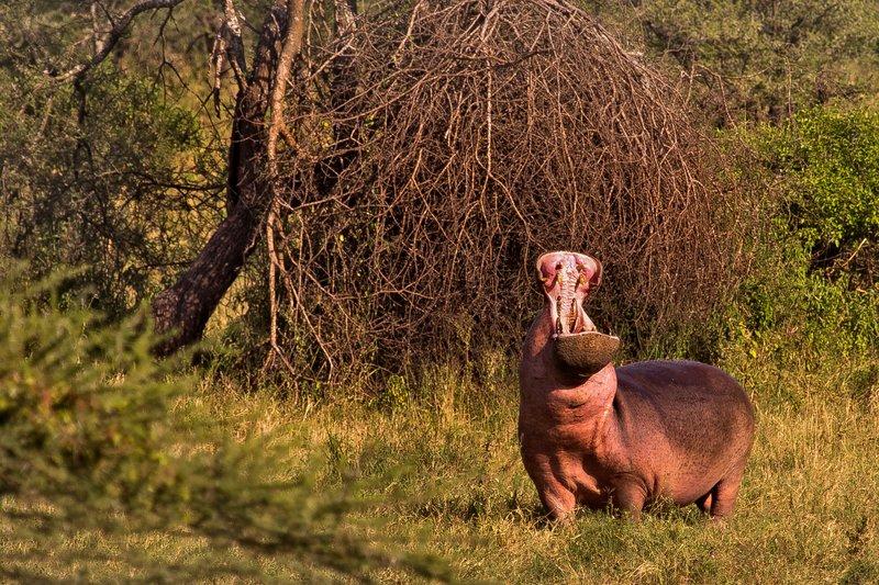 large_Hippo_10-2.jpg