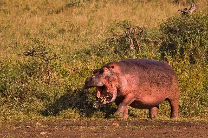 large_Hippo_10-8.jpg