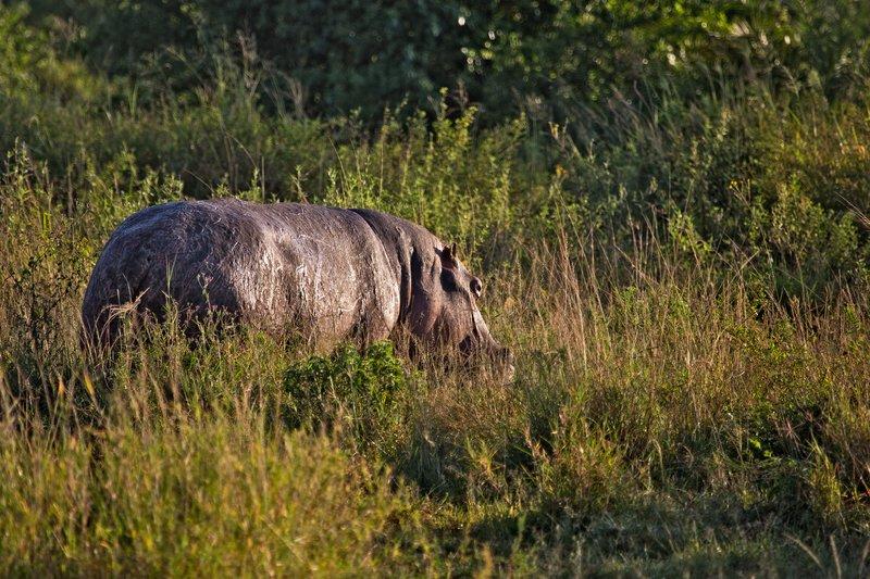 large_Hippo_12-1.jpg