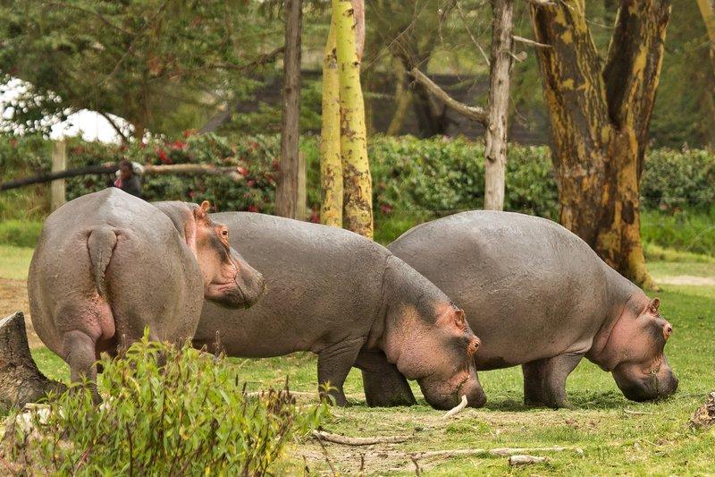 large_Hippo_18.jpg