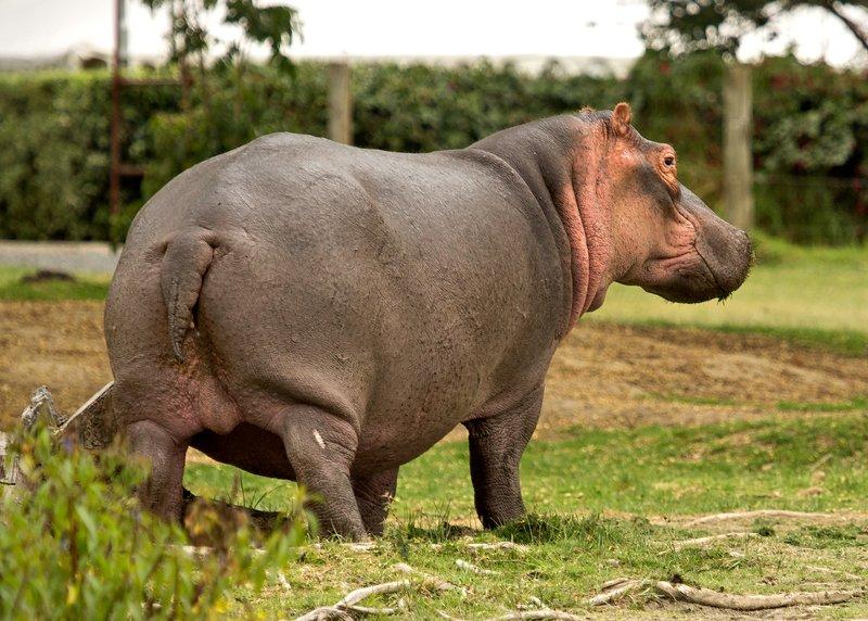 large_Hippo_21.jpg