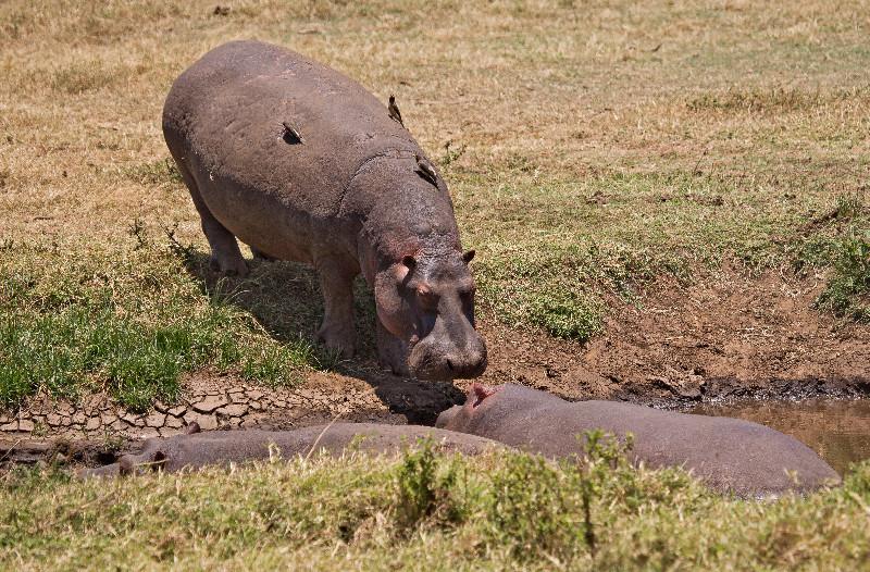 large_Hippo_3.jpg