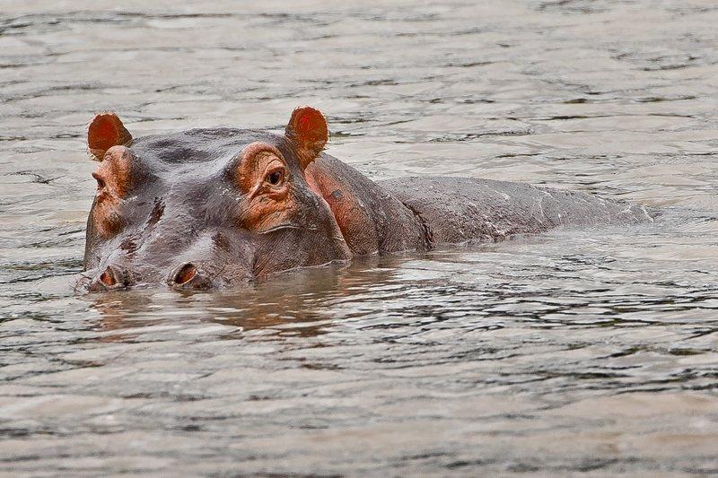 large_Hippo_4.jpg