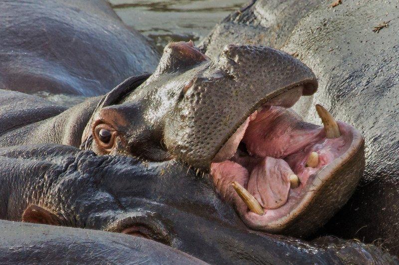 large_Hippo_at_R.._Pool_10-20.jpg