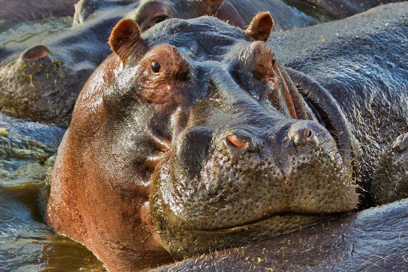 large_Hippo_at_R.._Pool_10-22.jpg
