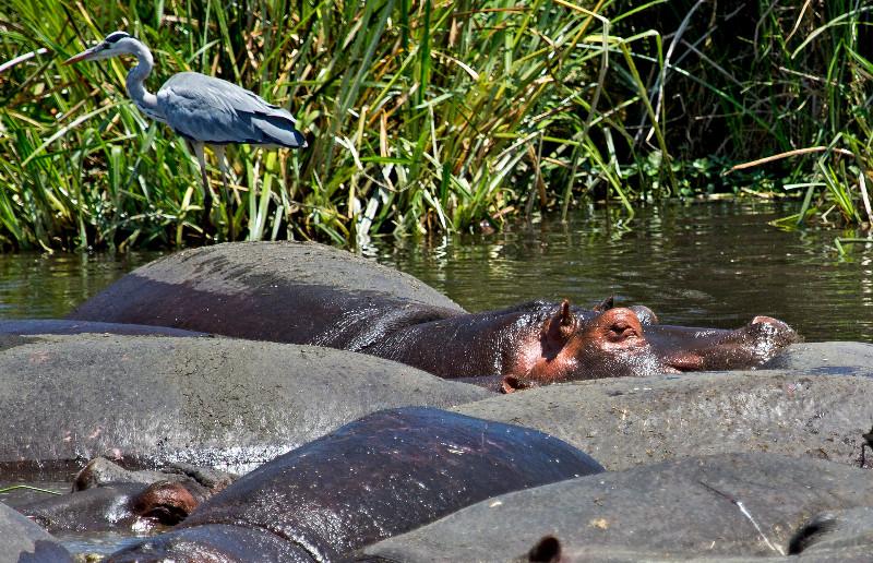 large_Hippos_11.jpg