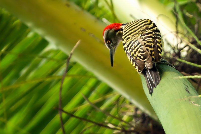 large_Hispaniolan_Woodpecker_1.jpg