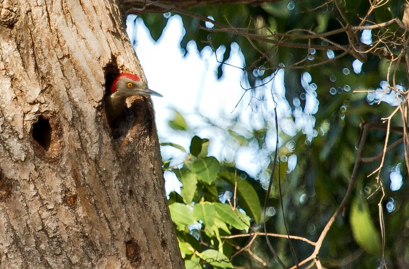 large_Hispaniolan_Woodpecker_2.jpg