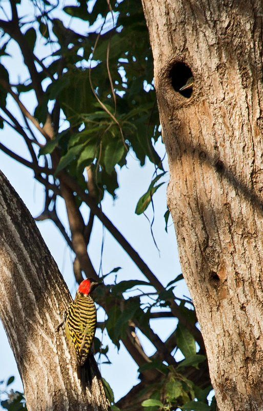 large_Hispaniolan_Woodpecker_3.jpg