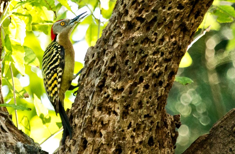 large_Hispaniolan_Woodpecker_65.jpg