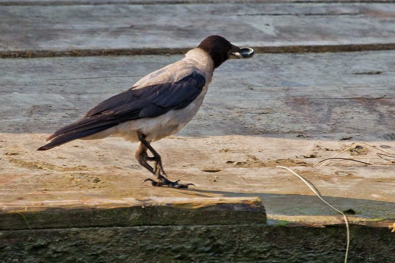 large_Hooded_Crow_4.jpg