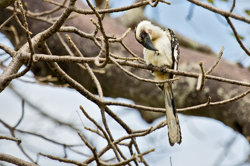 large_Hornbill__..female__5-1.jpg