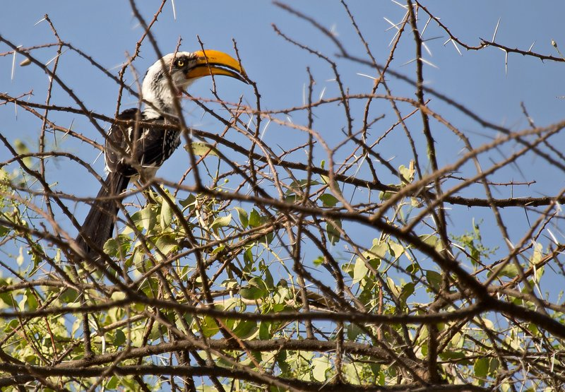 large_Hornbill__..ow_Billed_1.jpg