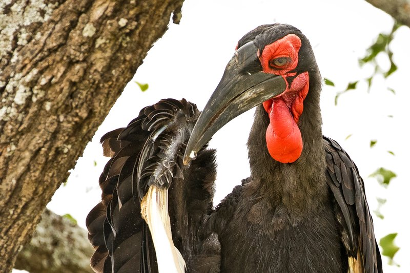large_Hornbill__..rn_Ground_6.jpg