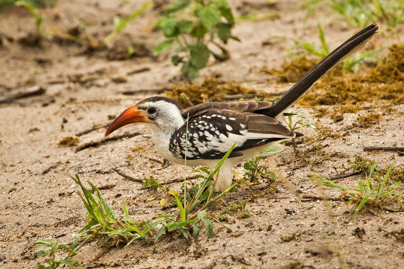 large_Hornbill__Red_Billed_72.jpg