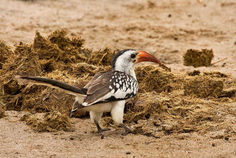 large_Hornbill__Red_Billed_73.jpg