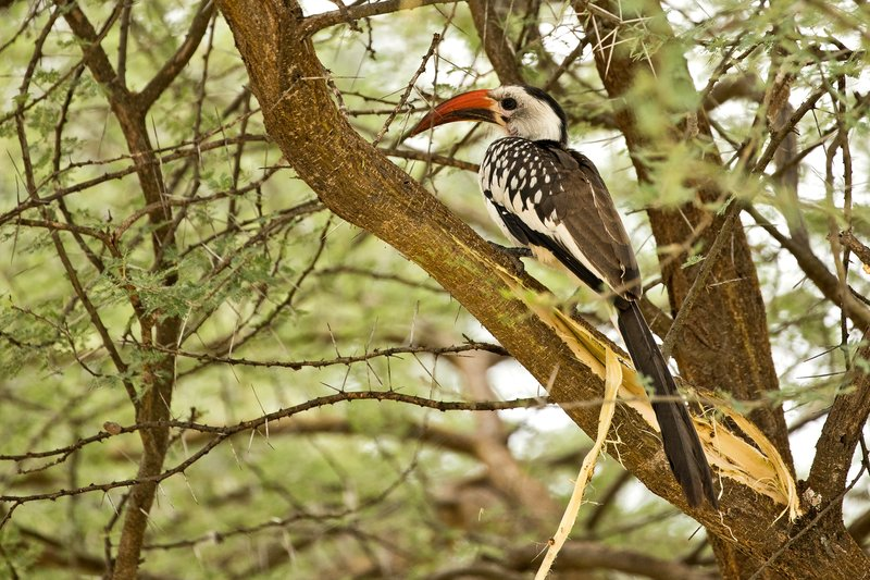 large_Hornbill__Red_Billed_74.jpg