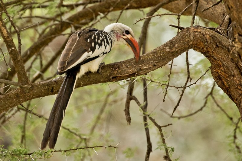 large_Hornbill__Red_Billed_75.jpg