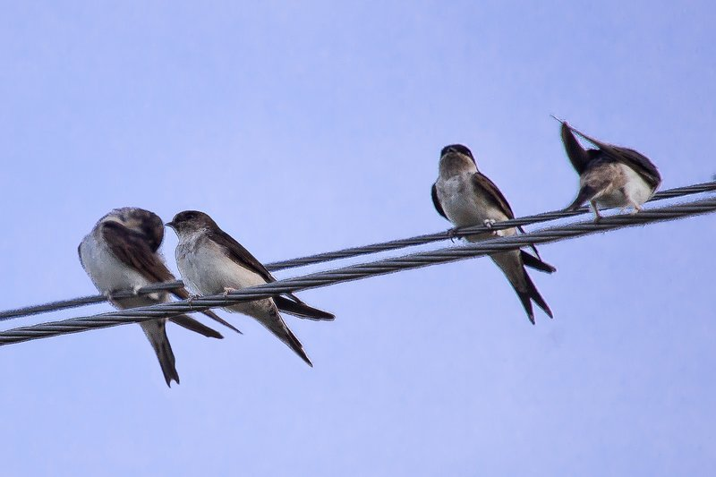 large_Housemartins_on_a_Wire_2.jpg