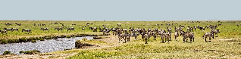 large_Huge_Herds_of_Zebra_1.jpg
